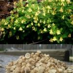 Astragalus pic