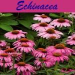 Echin