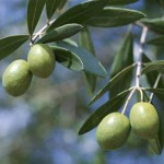 olive-leaf-extract2