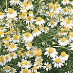german-chamomile-2_Burpee credit